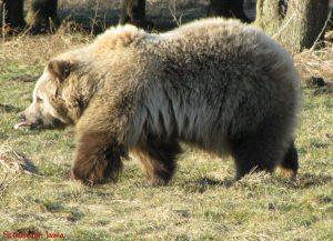 Krafttier Bär