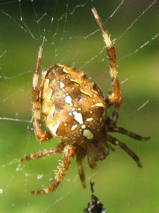 Krafttier Spinne (Webspinnen)