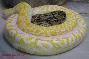 Krafttiere Schlange
