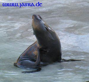 Krafttier Seehund