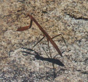 Mantis Gottesanbeterin