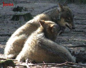 Krafttiere Wolf